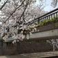桜満開の岐阜に行ってきました。